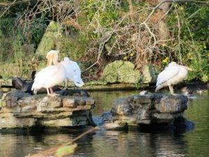 the-famous-pelicans